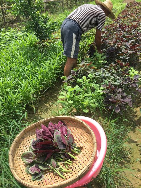 采摘红苋菜