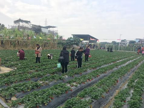 大王洲村记草莓园
