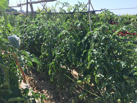 大王洲番茄地