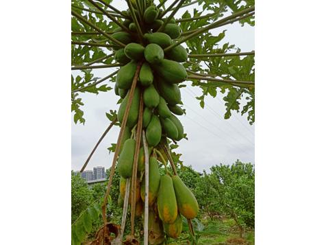 大王洲木瓜
