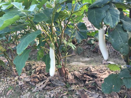 大王洲白茄子