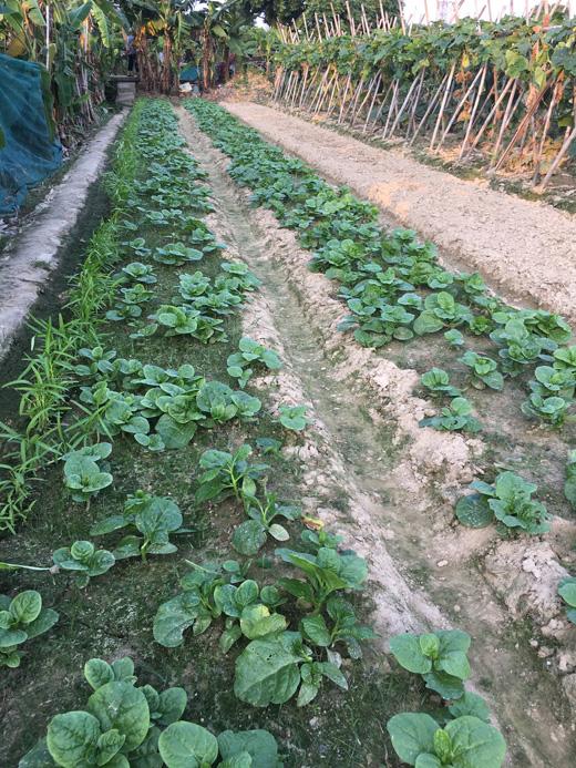 大王洲蚕菜(潺菜)菜地