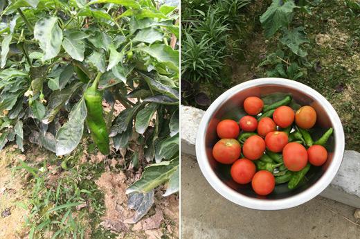 虎皮青椒番茄