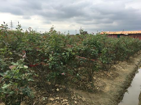 大王洲玫瑰园