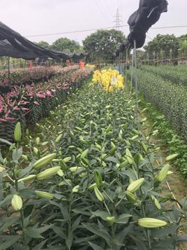 大王洲百合花