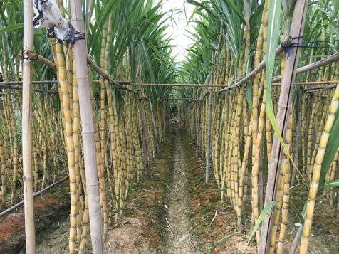 大王洲甘蔗地