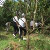游客进入黄皮果园