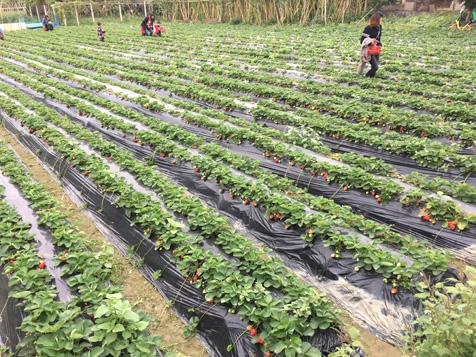 大王洲草莓园